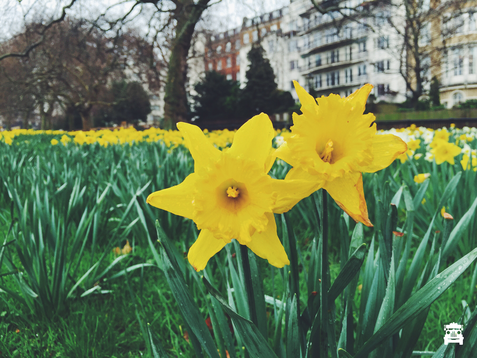 Lovely daffodils at the park