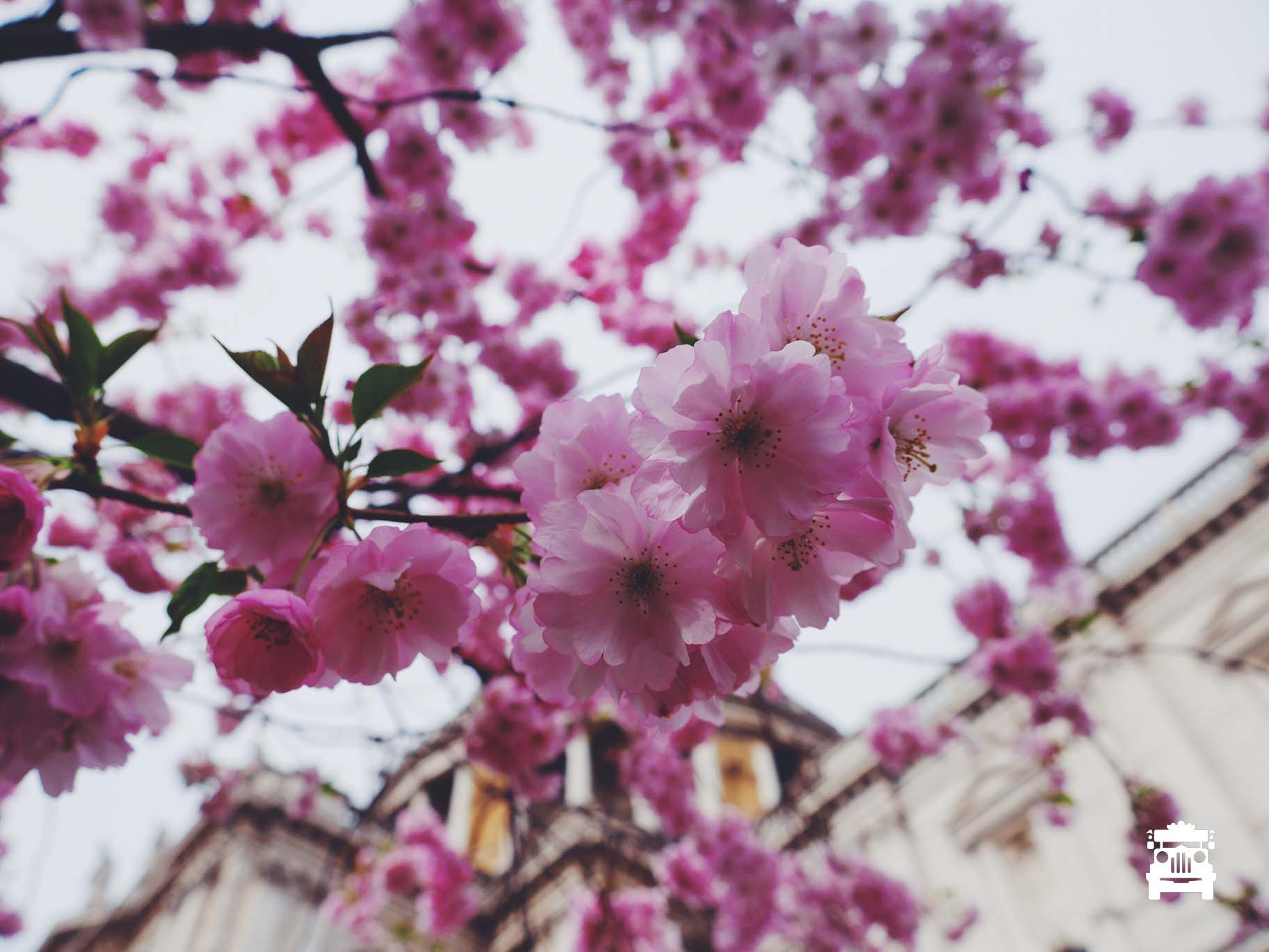 Cherry blossoms at St Paul's Cathedral