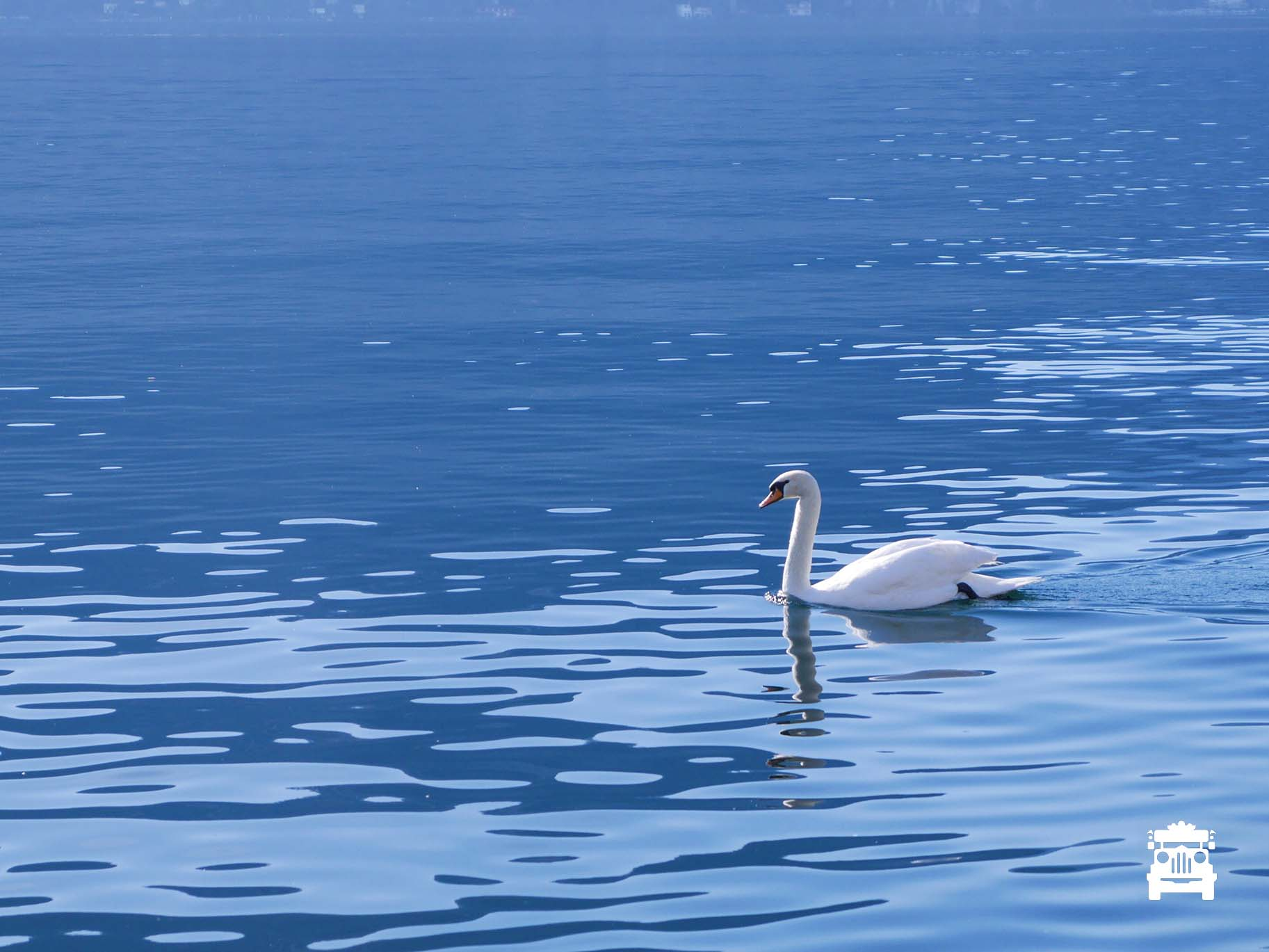 The swan pic