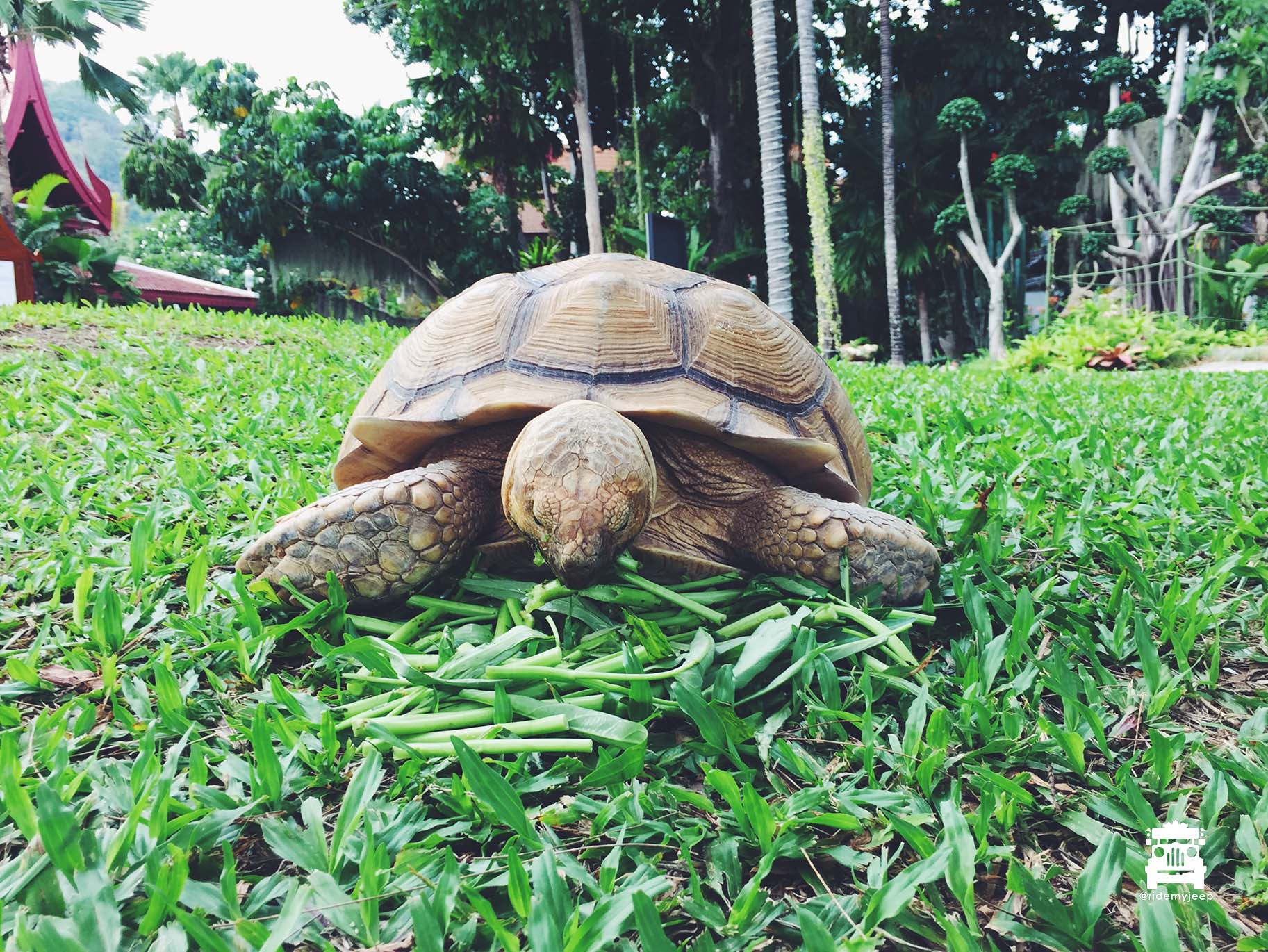 Back at the resort, the resident tortoise munching on his lunch